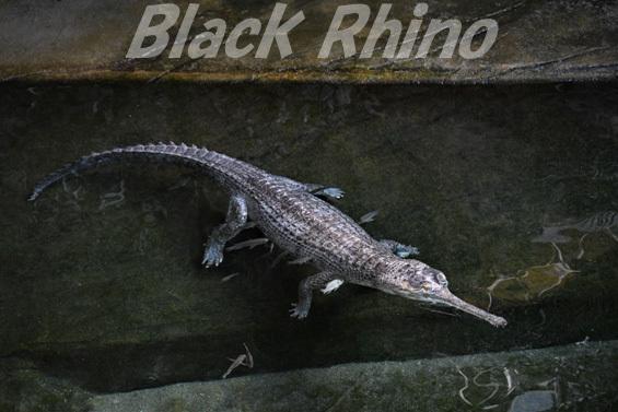 インドガビアル03 東山動物園
