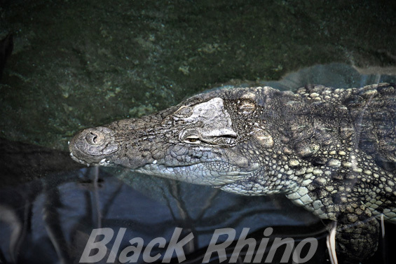 ナイルワニ01 東山動物園