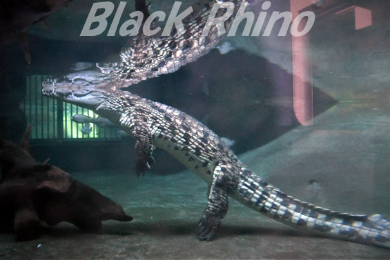 ナイルワニ02 東山動物園