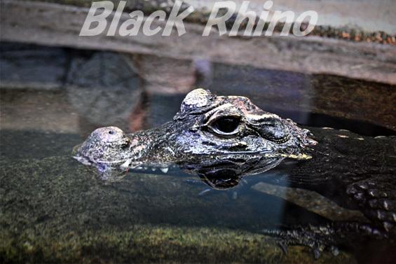 ニシアフリカコガタワニ01 東山動物園