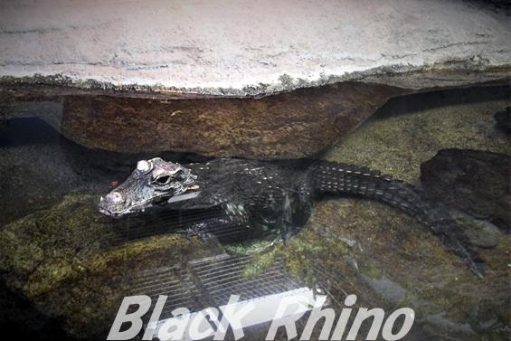 ニシアフリカコガタワニ02 東山動物園
