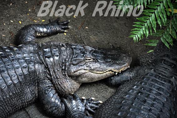 ミシシッピワニ01 東山動物園