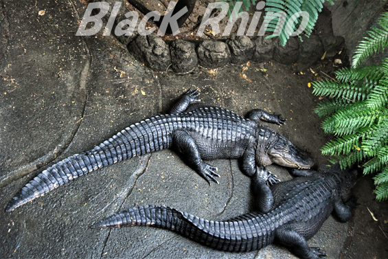 ミシシッピワニ02 東山動物園