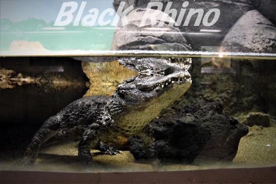 ヨウスコウワニ02 東山動物園