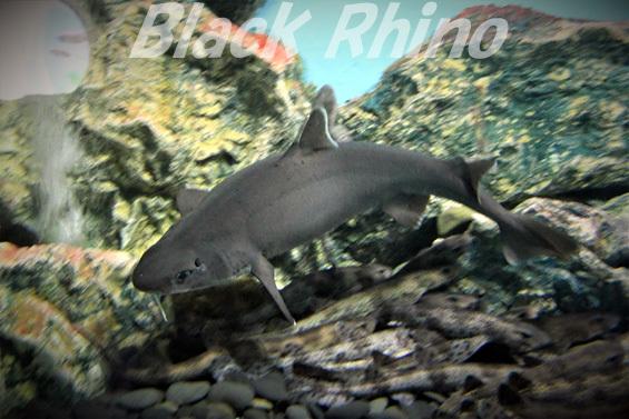 ヒゲツノザメ02 志摩マリンランド