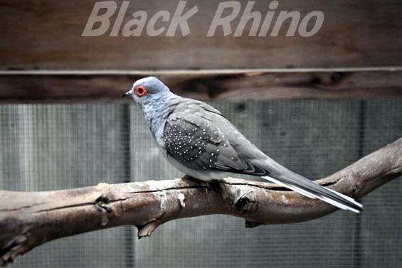 ウスユキバト01 キャンベルタウン野鳥の森