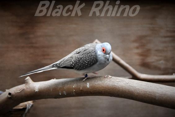 ウスユキバト02 キャンベルタウン野鳥の森