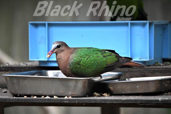 キンバト02 キャンベルタウン野鳥の森