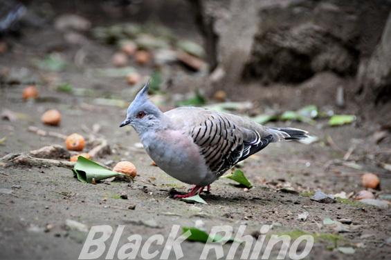 レンジャクバト01 キャンベルタウン野鳥の森