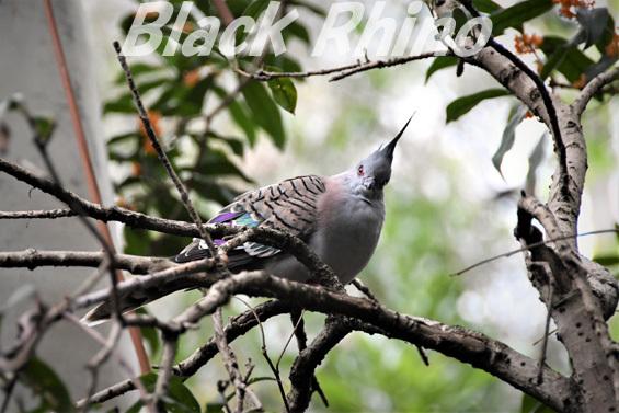 レンジャクバト02 キャンベルタウン野鳥の森