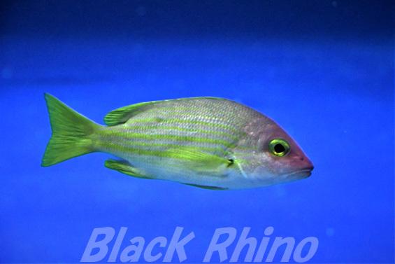 キュウセンフエダイ01 四国水族館