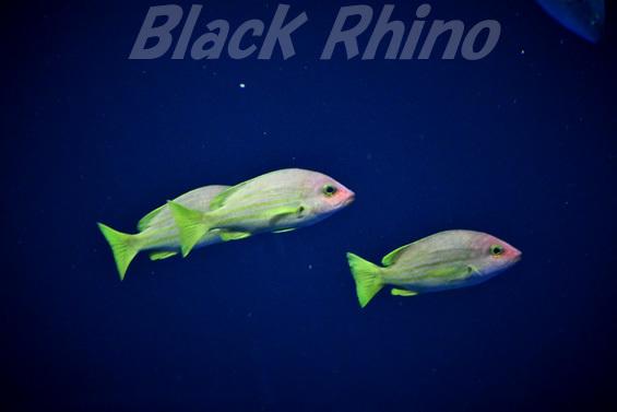 キュウセンフエダイ02 四国水族館