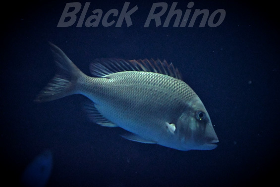 フエフキダイ01 四国水族館