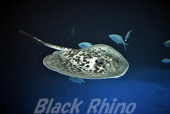 マダラエイ01 四国水族館