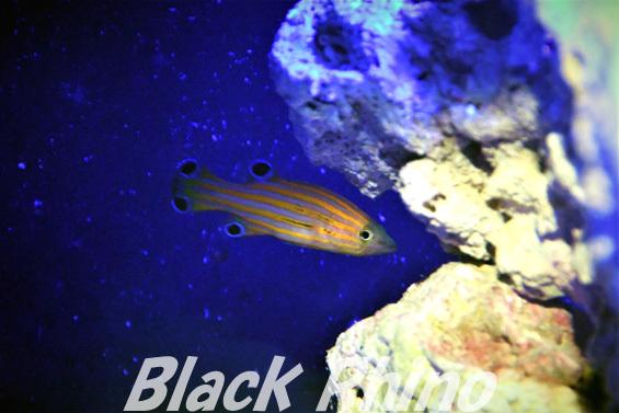オレンジストライプバスレット01 竹島水族館