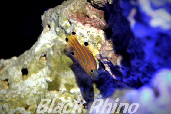 オレンジストライプバスレット02 竹島水族館