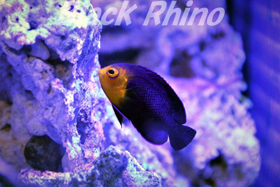 チェルブピグミーエンゼル01 竹島水族館
