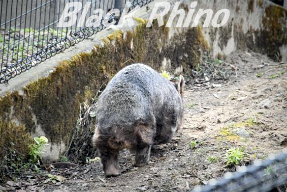 コモンウォンバット02 茶臼山動物園