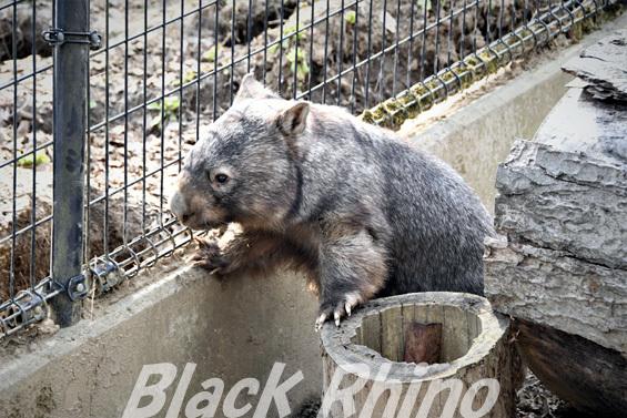 コモンウォンバット01 茶臼山動物園