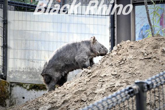 コモンウォンバット05 茶臼山動物園