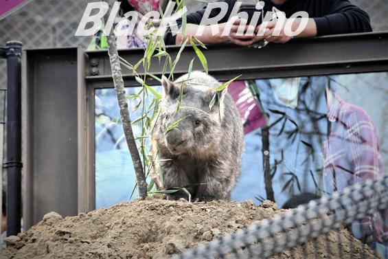 コモンウォンバット06 茶臼山動物園