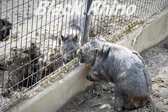 コモンウォンバット07 茶臼山動物園