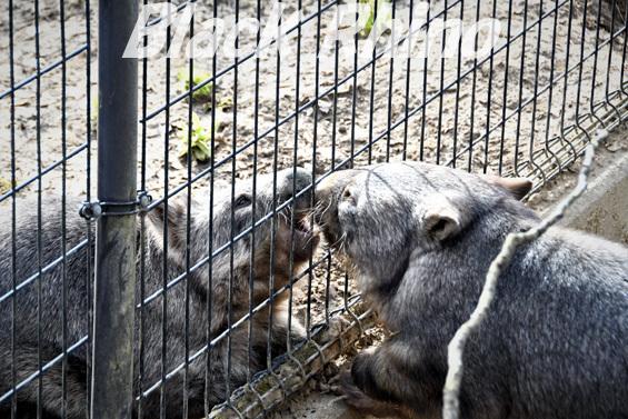 コモンウォンバット08 茶臼山動物園