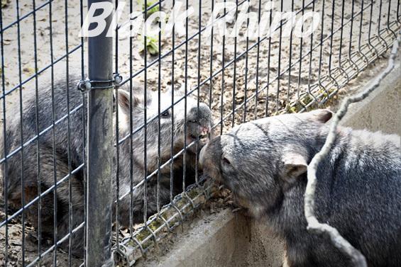 コモンウォンバット09 茶臼山動物園