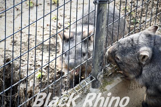 コモンウォンバット10 茶臼山動物園