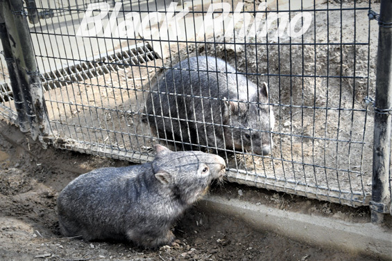 コモンウォンバット14 茶臼山動物園