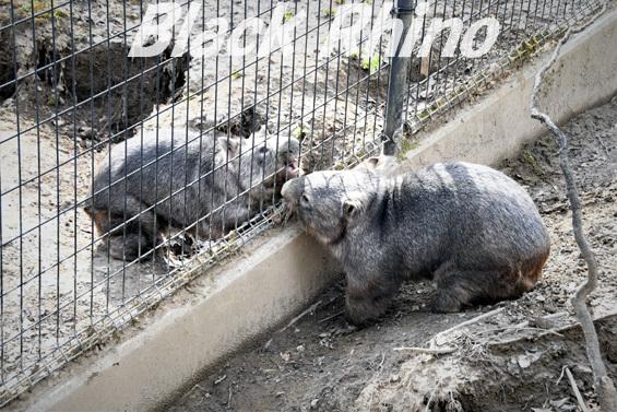 コモンウォンバット15 茶臼山動物園