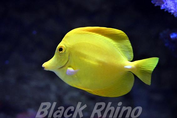 キイロハギ02 DMMかりゆし水族館