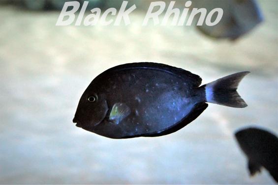 クロハギ02 DMMかりゆし水族館