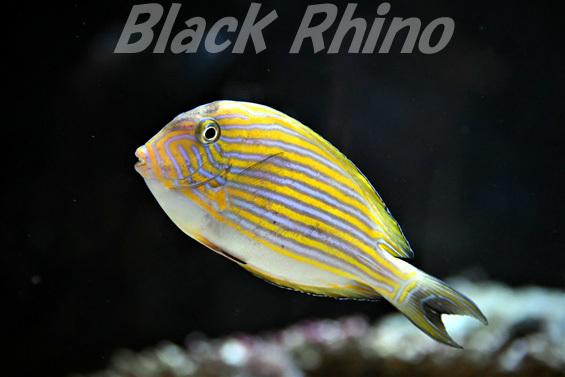 ニジハギ02 DMMかりゆし水族館