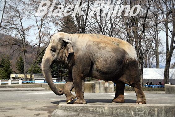アジアゾウ フー子01 茶臼山動物園