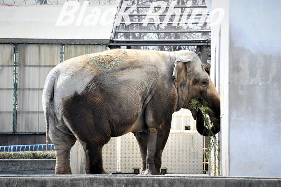 アジアゾウ フー子04 茶臼山動物園