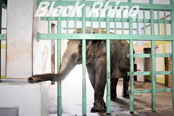 アジアゾウ フー子05 茶臼山動物園