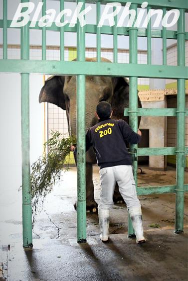 アジアゾウ フー子06 茶臼山動物園