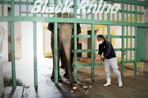 アジアゾウ フー子07 茶臼山動物園