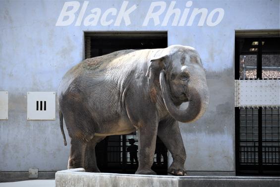 アジアゾウ フー子08 茶臼山動物園