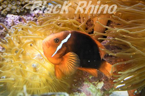 ハマクマノミ01 東海大学海洋科学博物館