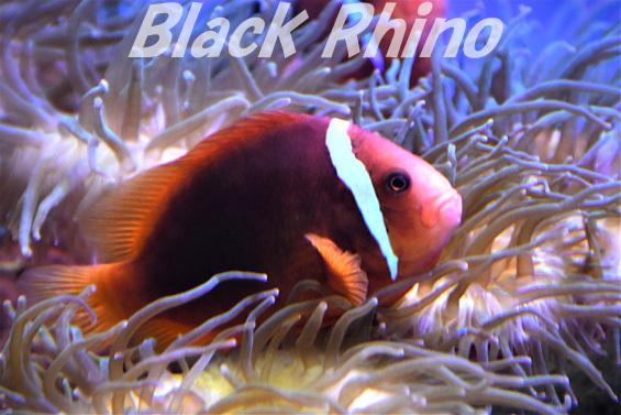 ハマクマノミ02 東海大学海洋科学博物館