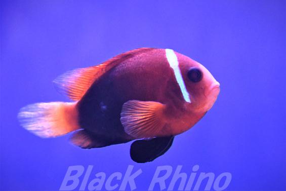 レッドアンドブラック アネモネフィッシュ01 東海大学海洋科学博物館