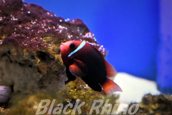 レッドアンドブラック アネモネフィッシュ02 東海大学海洋科学博物館