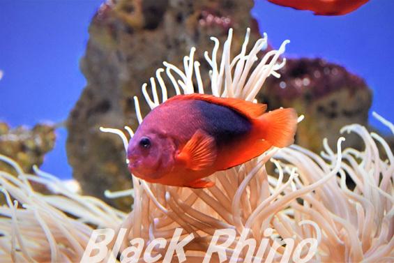 レッドサドルバック アネモネフィッシュ01 東海大学海洋科学博物館