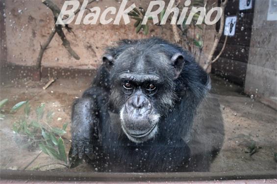 ニシチンパンジー ハマ♀01 伊豆アニマルキングダム