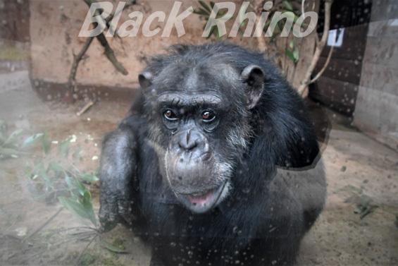 ニシチンパンジー ハマ♀02 伊豆アニマルキングダム