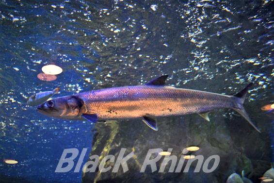 カライワシ02 丹後魚っ知館