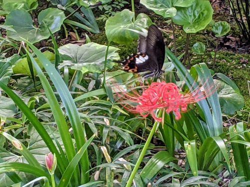 16アゲハチョウ