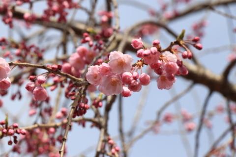 しだれ桜散歩道
